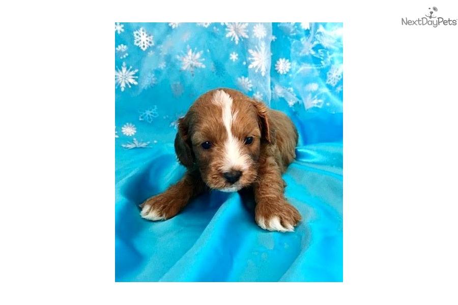 Copper: Cavapoo puppy for sale near Greensboro, North