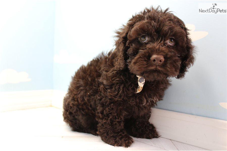 Cockapoo Puppy For Sale Near Greensboro North Carolina 3c2deb8f F431