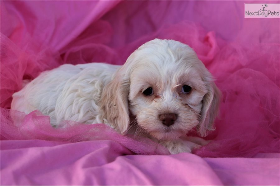 Cockapoo puppy for sale near Greensboro, North Carolina | 477e0256-69f1