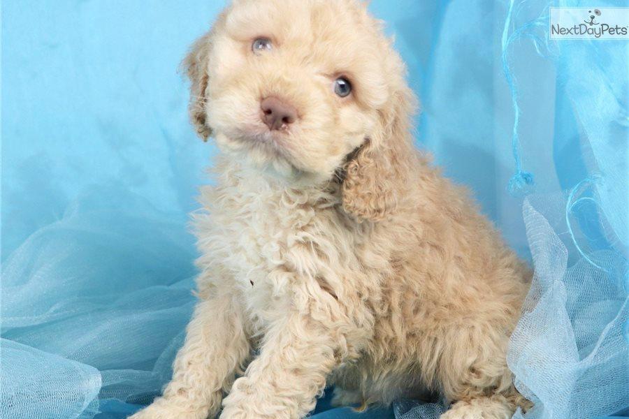 Cockapoo puppy for sale near Greensboro, North Carolina ...