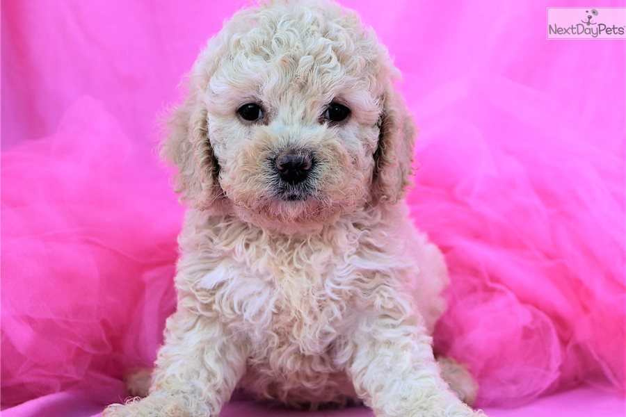 Cockapoo puppy for sale near Greensboro, North Carolina