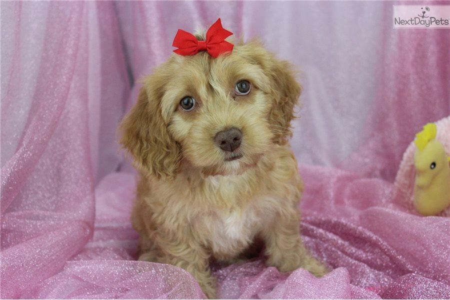 Cockapoo Puppy For Sale Near Greensboro North Carolina C7ab8151 40a1