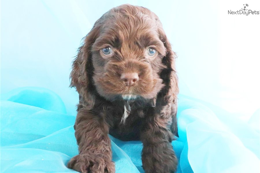 Cocker Spaniel Puppy For Sale Near Greensboro North Carolina