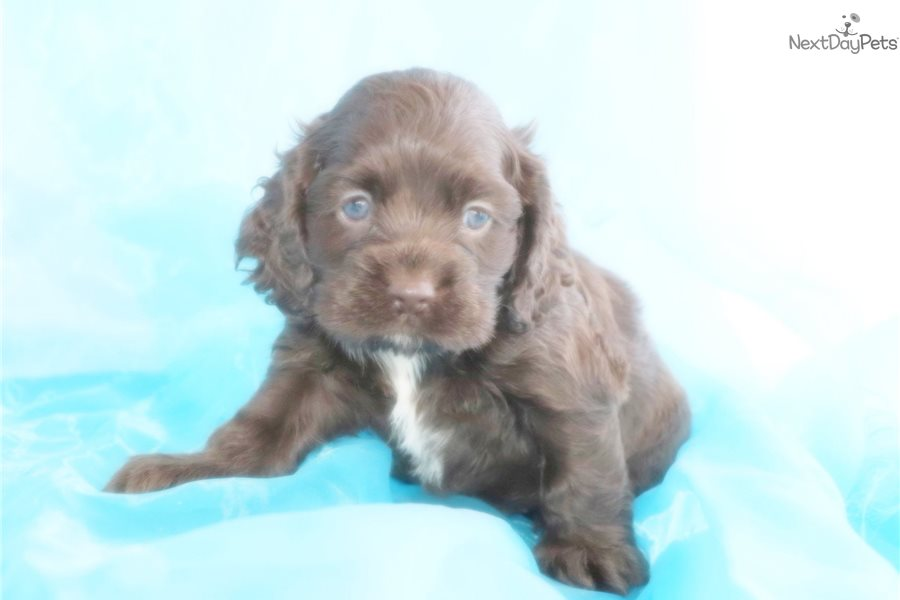 cocker spaniel for sale near me cocker spaniel puppy for sale near greensboro north 1598