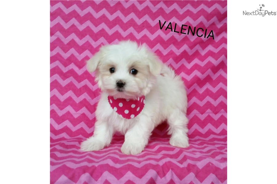 Valencia: Maltese puppy for sale near Greensboro, North