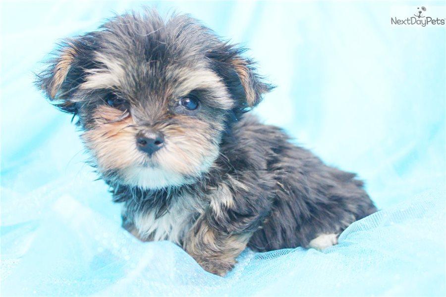 Buy Morkie / Yorktese puppy for sale near South Carolina USA