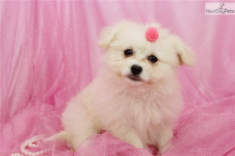 Poma-Poo - Pomapoo puppy for sale near Greensboro, North ...