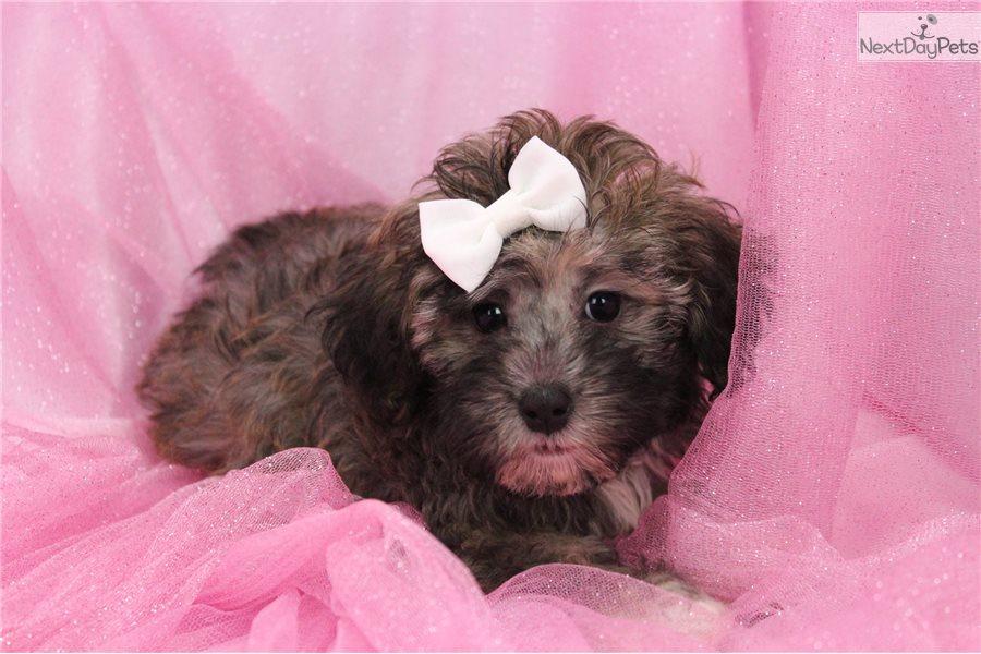 clara female teacup poodle puppy