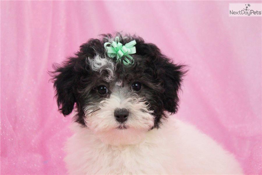 Poodle, Miniature puppy for sale near Greensboro, North