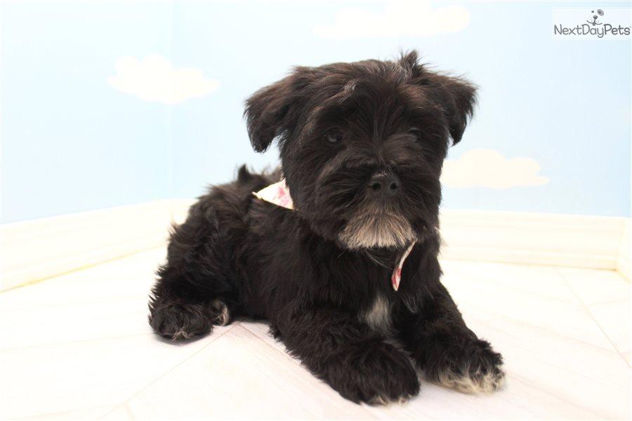Schnauzer Miniature Puppy For Sale Near Greensboro North Carolina