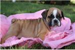 Picture of Jelly Female Miniature Bulldog Puppy