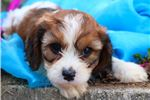 Picture of DRAKE MALE CAVAPOO PUPPY*