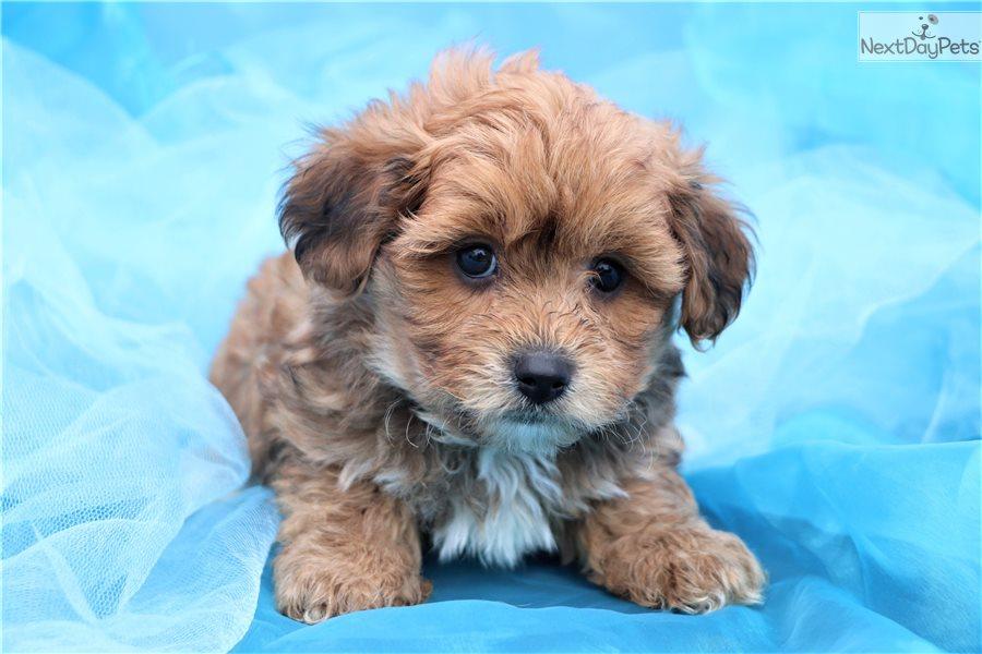 Yorkiepoo Yorkie Poo Puppy For Sale Near Greensboro North Carolina