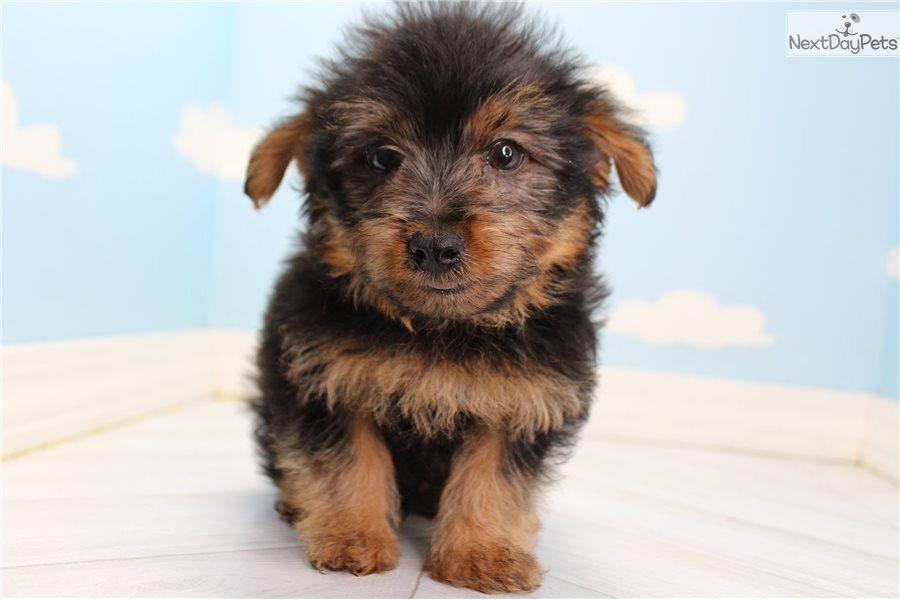 Yorkiepoo Yorkie Poo Puppy For Sale Near Greensboro North