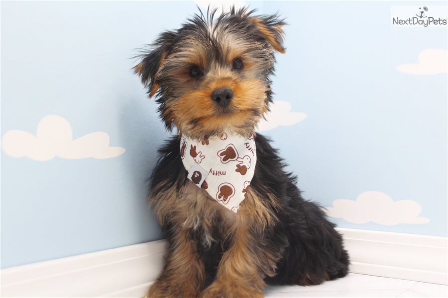 Yorkshire Terrier Yorkie Puppy For Sale Near Greensboro North