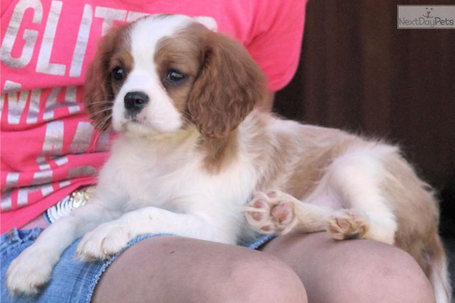Cavalier King Charles Spaniel Puppy For Sale Near Jonesboro