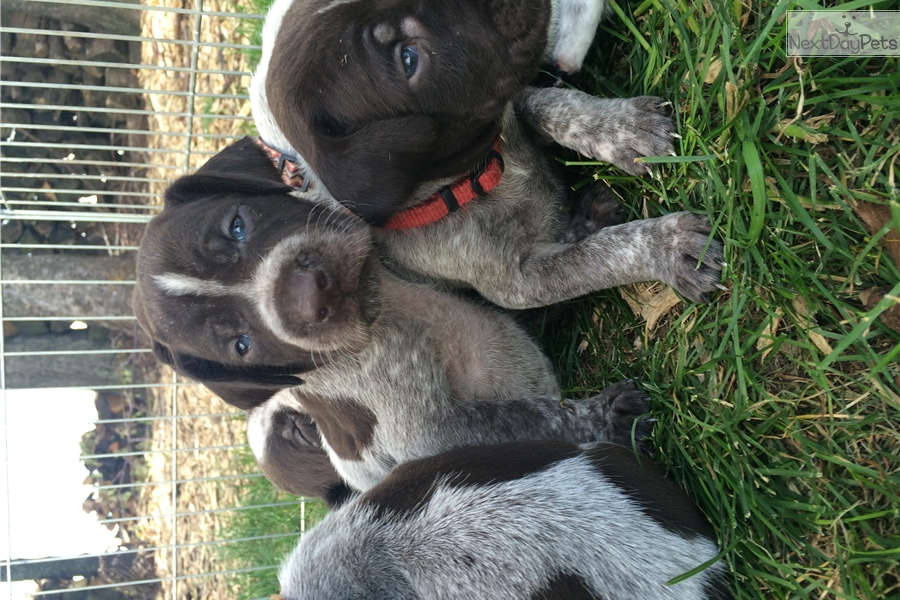 Female 1 German Wirehaired Pointer Puppy For Sale Near Green Bay