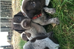 Picture of GWP Puppies