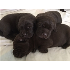 View full profile for Atlantic Pacific Labradors