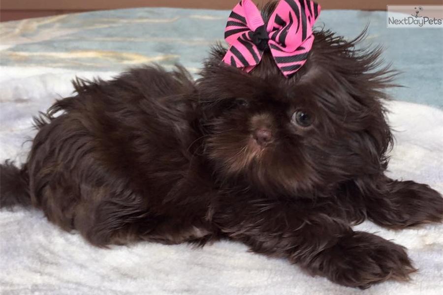 Gabby Shih Tzu Puppy For Sale Near Houston Texas 0ea4dbc4 2871
