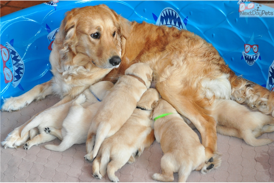 Yellow Male: Golden Retriever puppy for sale near Tampa Bay