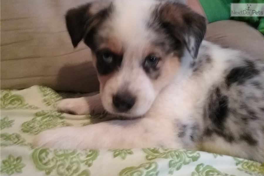 Happy Australian Cattle Dogblue Heeler Puppy For Sale Near