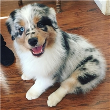 View full profile for Khaos Australian Shepherds