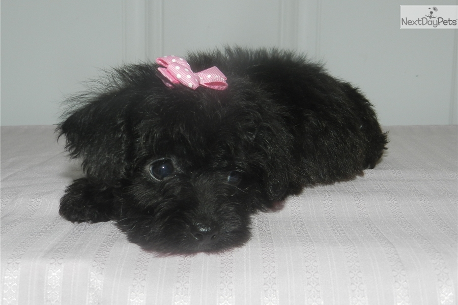 Yorkiepoo Yorkie Poo Puppy For Sale Near Macon Warner Robins