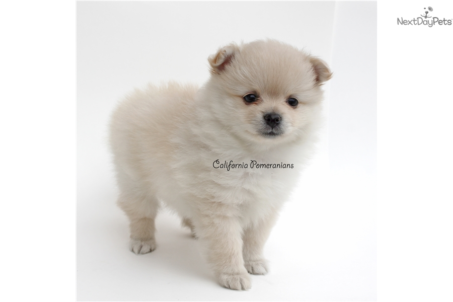 pomeranian california summer pomeranian puppy for sale near santa barbara 6870