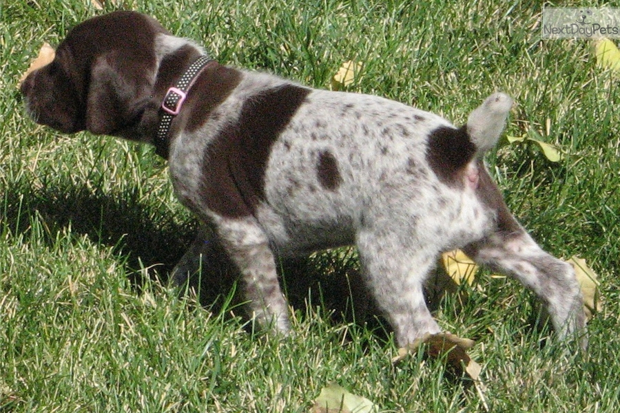 Daisy German Shorthaired Pointer Puppy For Sale Near Denver