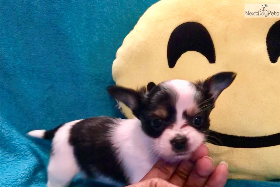 Chihuahua puppy for sale near Atlanta, Georgia | 4ffde666-e791