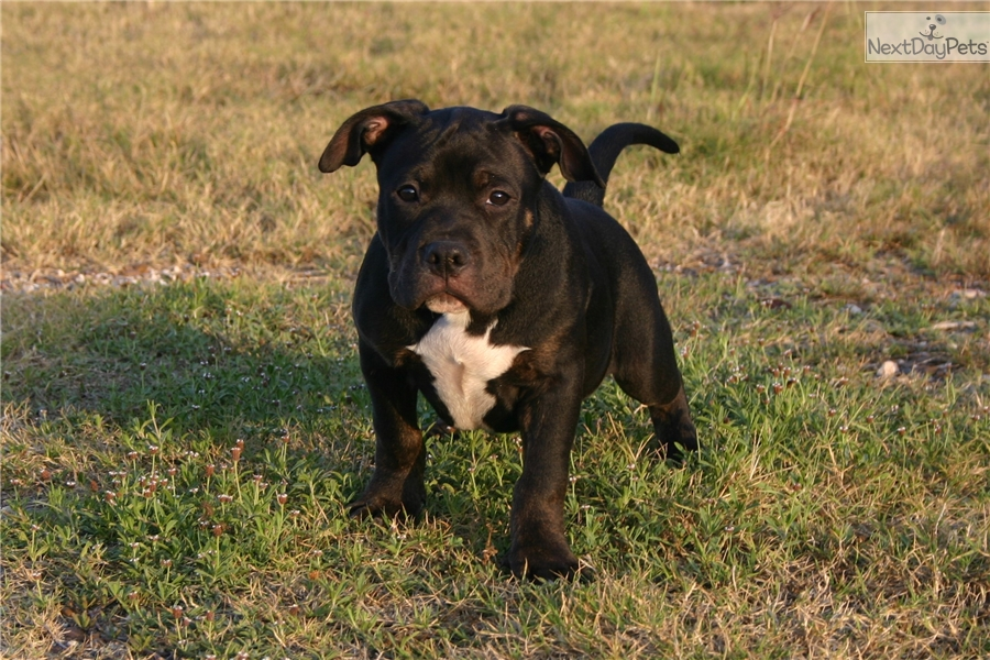 Roku American Bully Puppy For Sale Near Brownsville Texas