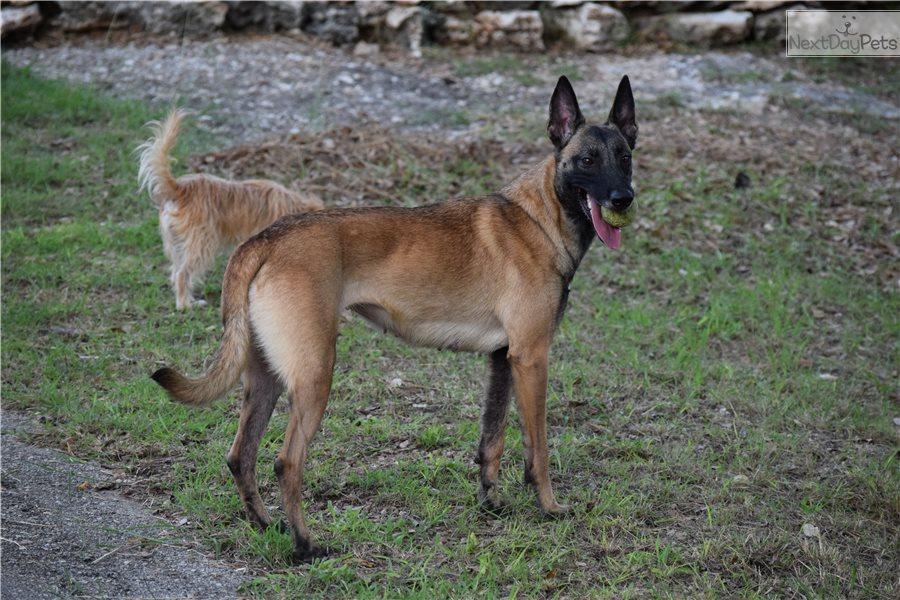 Belgian Malinois Puppy For Sale Near San Antonio Texas