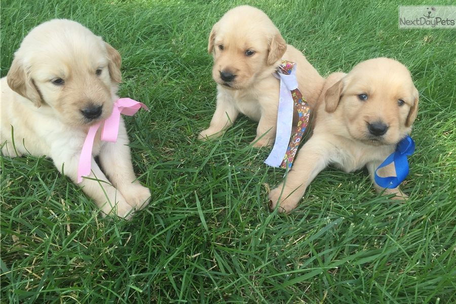 Dozer Golden Retriever Puppy For Sale Near St Cloud Minnesota