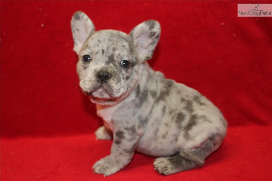 French Bulldog Puppy For Sale Near Tulsa Oklahoma Cd1e19b7 7941