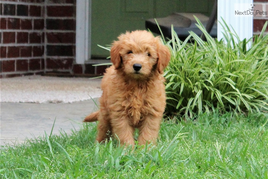 Goldendoodle Puppy For Sale Near Tulsa Oklahoma 24c32f4e 8ad1