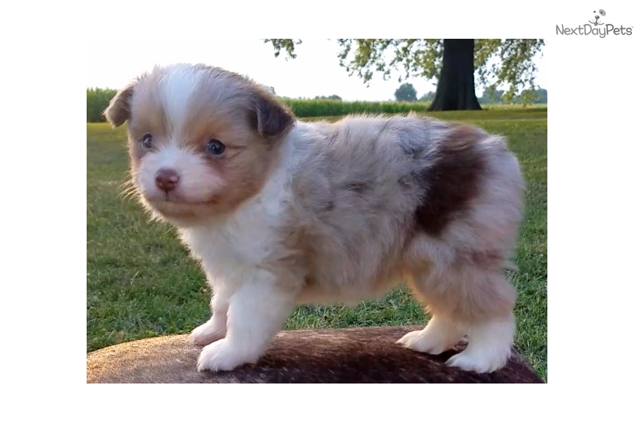 Jack Miniature Australian Shepherd Puppy For Sale Near Bloomington