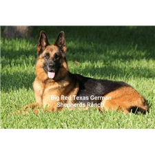 View full profile for Big Red Texas German Shepherds Ranch