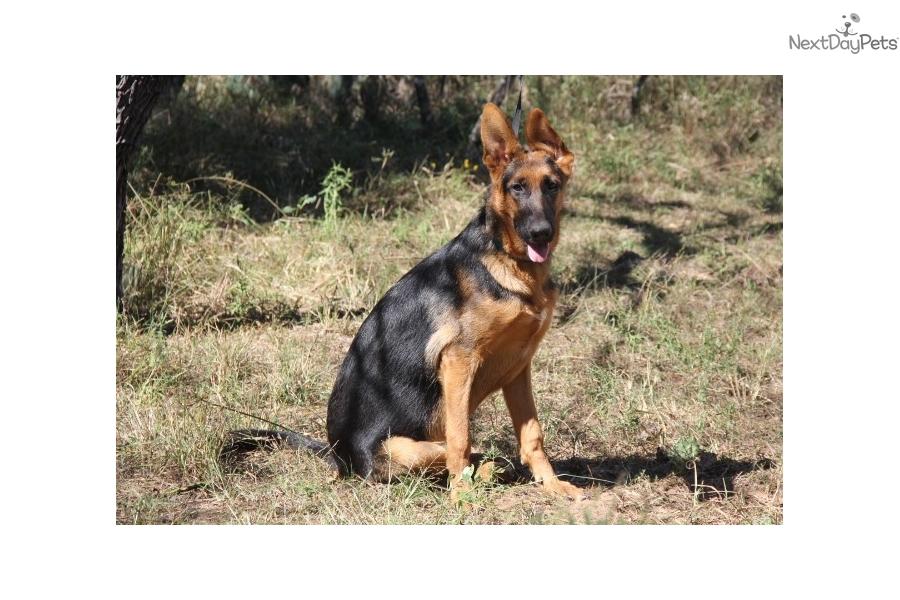 Mia German Shepherd Puppy For Sale Near Austin Texas Fcac636f 0de1