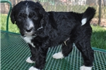 Picture of Black with white Male F1 Bordoodle