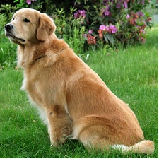 View full profile for Watershed Pines Golden Retrievers