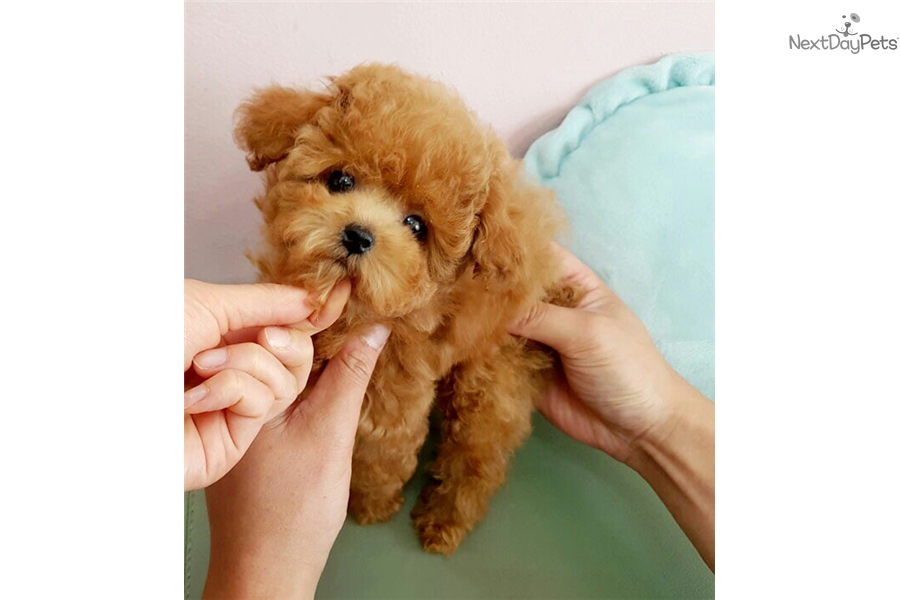 Poodle, Toy puppy for sale near Seoul, Korea | 6350096f-31c1