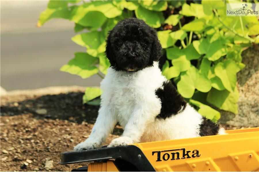 Labradoodle Puppy For Sale Near Salt Lake City Utah
