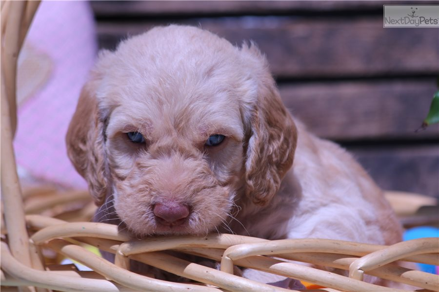 Mallow Labradoodle Puppy For Sale Near Salt Lake City Utah