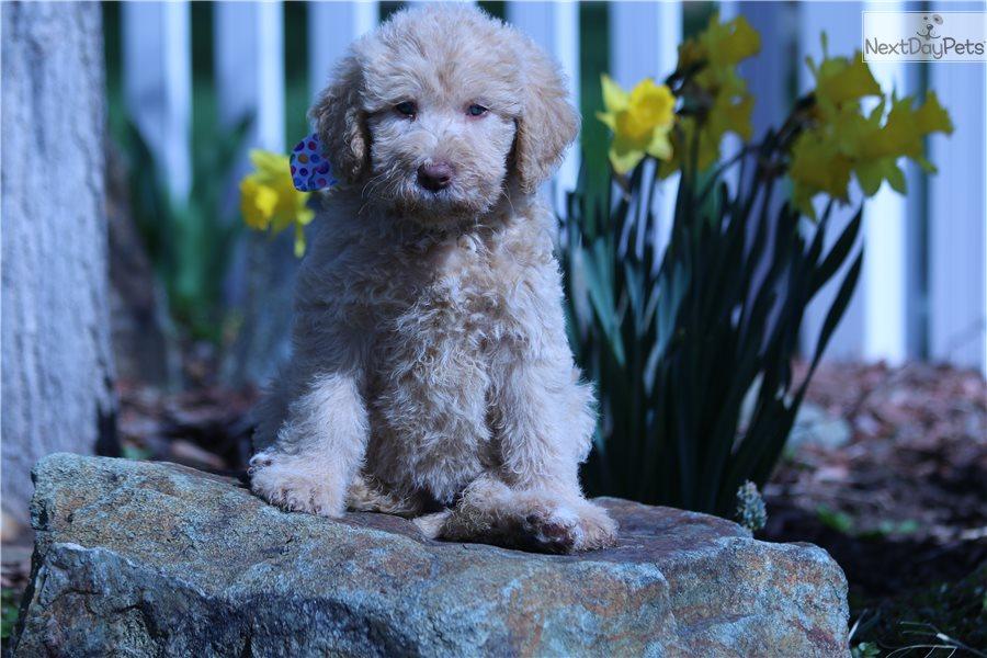Petunia Labradoodle Puppy For Sale Near Salt Lake City