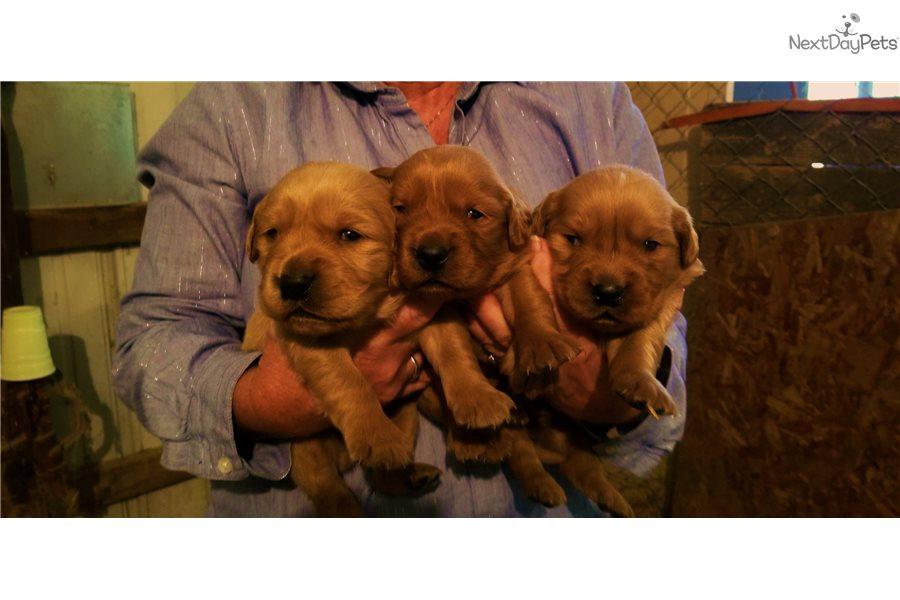 Foxy3 Golden Retriever Puppy For Sale Near Evansville Indiana