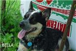 Picture of Pure Bred Miniature Blue Heeler - Male 1