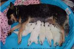 Picture of Pure Bred Miniature Blue Heeler - Female