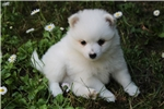 Picture of a Japanese Spitz Puppy