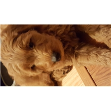View full profile for Adorable  Goldendoodles Pups